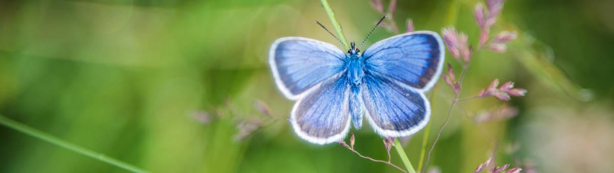 schmetterling-blau